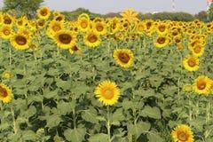 Zonnebloemen, Zonnebloemen het bloeien Royalty-vrije Stock Foto