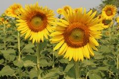 Zonnebloemen, Zonnebloemen het bloeien Royalty-vrije Stock Foto's