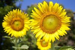 Zonnebloemen in zonnige dag Stock Foto's