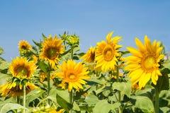 Zonnebloemenachtergrond Stock Afbeeldingen