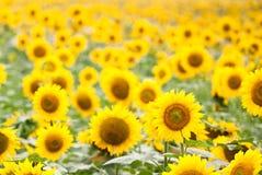 Zonnebloemengebied Stock Fotografie