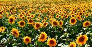 Zonnebloemengebied royalty-vrije stock afbeeldingen