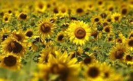 Zonnebloemengebied Stock Foto
