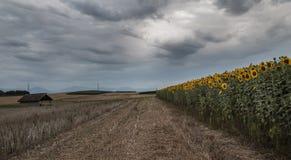 Zonnebloemengebied 1 Stock Fotografie