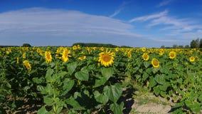 zonnebloemengebied in de zomer Stock Foto's