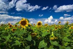 Zonnebloemengebied in de zomerdag Royalty-vrije Stock Fotografie