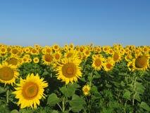 Zonnebloemengebied en duidelijke blauwe hemel, schilderachtig landelijk landschap stock afbeeldingen