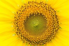 zonnebloemengebied in Lopburi, Thailand Stock Fotografie