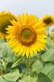 Zonnebloemengebieden Royalty-vrije Stock Afbeelding