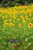 Zonnebloemengebieden Royalty-vrije Stock Afbeeldingen