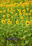 Zonnebloemengebieden Stock Afbeelding