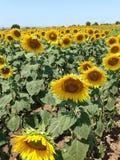 Zonnebloemengebieden in volledige bloei Royalty-vrije Stock Foto's