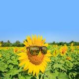 Zonnebloemenglazen en heldere blauwe hemel: De zomertijd Stock Afbeelding