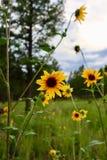 Zonnebloemengloed in de zon stock afbeeldingen