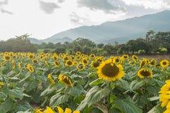 Zonnebloemenlandbouwbedrijf in Esquipulas Stock Foto