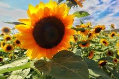 Zonnebloemenlandbouwbedrijf in Puerto Rico stock fotografie