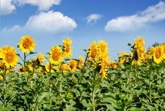 Zonnebloemenlandschap Stock Afbeeldingen