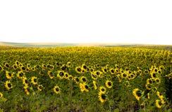 Zonnebloemenlandschap Stock Fotografie