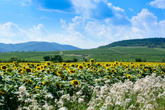 Zonnebloemenlandschap en heuvels in Hongarije royalty-vrije stock foto's