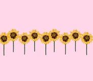 Zonnebloemenrij op roze achtergrond Stock Foto