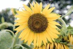 Zonnebloemenschoften Royalty-vrije Stock Afbeelding