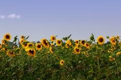 Zonnebloemenslingering in de wind royalty-vrije stock afbeelding