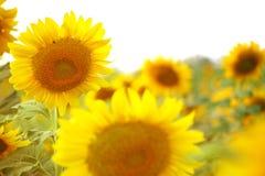 Zonnebloementextuur en achtergrond De achtergrond van het zonnebloemengebied Nadrukclose-up van zonnebloem in bloei met gloed van stock foto's