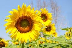 Zonnebloementuin De zonnebloemen hebben overvloedige gezondheidsvoordelen Zon Royalty-vrije Stock Foto's