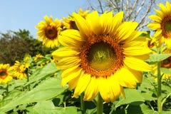 Zonnebloementuin De zonnebloemen hebben overvloedige gezondheidsvoordelen Zon Royalty-vrije Stock Afbeelding