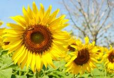 Zonnebloementuin De zonnebloemen hebben overvloedige gezondheidsvoordelen Zon Stock Fotografie