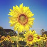 Zonnebloemflora royalty-vrije stock afbeelding