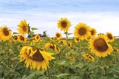 Zonnebloemgebied bij Donkere de Zomerdag Stock Foto's