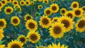 Zonnebloemgebied in de zomer in Valensole stock video