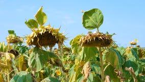 Zonnebloemgebied door droogte wordt beïnvloed die stock footage
