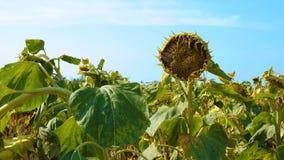 Zonnebloemgebied door droogte wordt beïnvloed die stock videobeelden