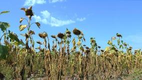 Zonnebloemgebied door droogte wordt beïnvloed die stock video