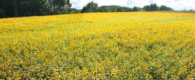 Zonnebloemgebied en blauwe hemel Royalty-vrije Stock Foto's