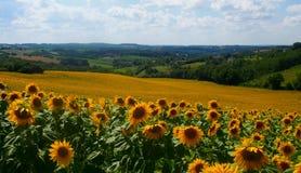 Zonnebloemgebied in Frankrijk stock afbeelding