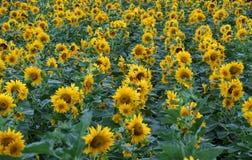 Zonnebloemgebied, gele bloem bij DA Lat stock afbeelding