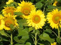 Zonnebloemgebied in het FingerLakes-gebied in NYS Royalty-vrije Stock Afbeeldingen