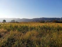 Zonnebloemgebied in het platteland stock foto's