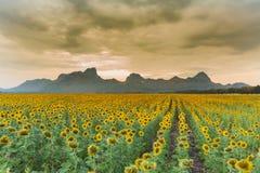 Zonnebloemgebied met bergachtergrond Royalty-vrije Stock Afbeelding