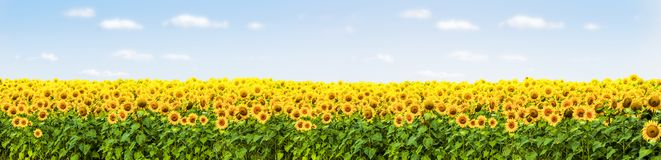zonnebloemgebied met blauw hemelpanorama stock fotografie
