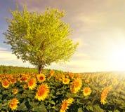 Zonnebloemgebied met boom royalty-vrije stock foto