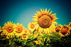 Zonnebloemgebied onder blauwe hemel Royalty-vrije Stock Foto's