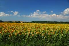 Zonnebloemgebied tegen bewolkte blauwe hemel Stock Afbeelding
