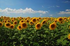 Zonnebloemgebied tegen bewolkte blauwe hemel Royalty-vrije Stock Foto