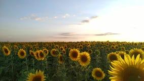 Zonnebloemgebied tijdens zonsondergang, het landschap van de Plattelandszomer stock video