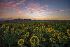 Zonnebloemgebied tijdens zonsopgang Royalty-vrije Stock Foto