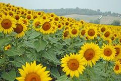 Zonnebloemgebied in volledige bloei in Frans platteland royalty-vrije stock foto's